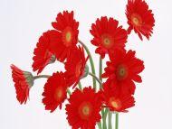 10 Red Gerbera
