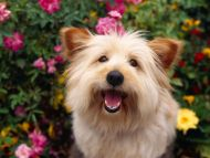 100 Pure Attention, Terrier Mix