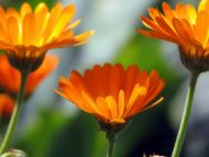 3 Orange Daisy Flowers
