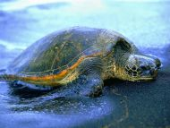A 04 Hawaiian Sea Turtle
