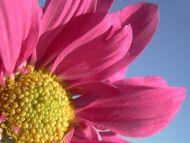 A Big Pink Gerbera Daisy