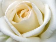 Desktop Wallpapers Flowers Backgrounds A Big White Rose Www