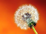 A Lone Dandelion