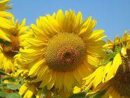 A Nice Big Sunflower