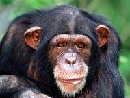 All Ears, Chimpanzee