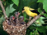 American Gold Finch Family