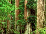 Ancient Giants, Big Basin Redwood State Park, California