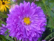 Asters Flowers Annual Annual Aster