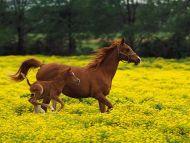 Arabian Mare and Foal, Louisville, Kentucky