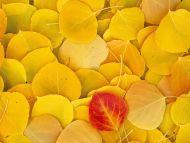 Aspen Leaves, Eastern Sierra, California