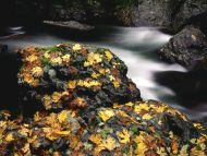 Autumn Leaf Covered Rock, Elk River, Oregon