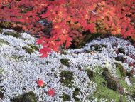 Autumn Vine Maple and Lichens