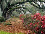 Azaleas and Live Oaks, Charleston, South Carolina