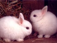 Image of: Cute Baby Rabbits Desktop Wallpapers Desktop Wallpapers Animals Backgrounds Baby Rabbits Www