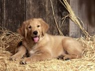 Baily, Golden Retriever Puppy