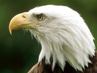 Bald Eagle, Montana