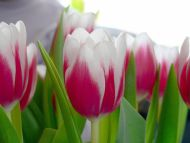 Beautiful Pink White Tulips