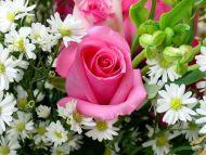Desktop Wallpapers » Flowers Backgrounds » Beautiful Rose Margherite ...