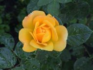 Desktop Wallpapers Flowers Backgrounds Beautiful Yellow Rose