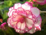 Begonia Pink and White