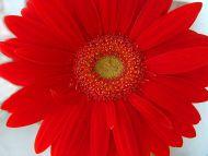 Desktop Wallpapers Flowers Backgrounds Big Gerbera Daisy Red