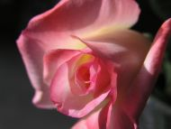 Big Light Pink Rose