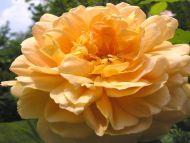 Big Light Yellow Rose