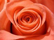Big Orange Rose