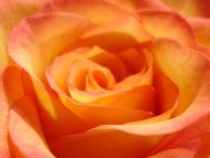 Big Orange Yellow Rose