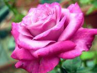 Desktop wallpapers flowers backgrounds big pink rose www big pink rose mightylinksfo