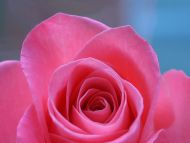 Desktop wallpapers flowers backgrounds big pink rose - Big rose flower wallpaper ...