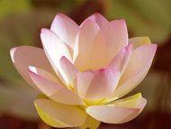 Big Pink Shaded Flower
