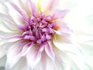 Big Purple Flower Closeup