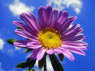 Desktop Wallpapers Flowers Backgrounds Big Purple Gerbera In The