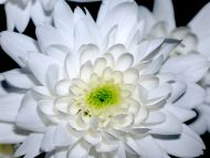 Desktop Wallpapers Flowers Backgrounds Big White Dahlia Www