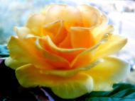 Desktop Wallpapers Flowers Backgrounds Big Yellow Rose