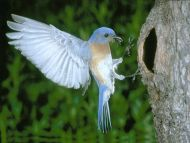 desktop wallpapers » animals backgrounds » bird collecting food