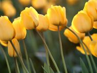 Blooming Tulips, Willamette Valley, Oregon