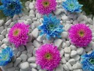 Blue and Purple Dahlia