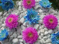 Blue and Purple Dahlia
