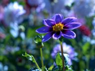 Desktop Wallpapers Flowers Backgrounds Blue Dahlia Www