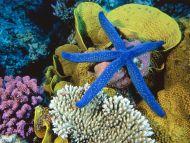 Blue Linckia Sea Star, Great Barrier Reef, Australia