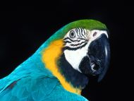 Blue Parrot Closeup