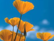 California Poppies, Siskiyou Mountains, Oregon