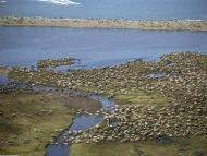 Caribou Herd, Alaska