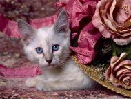 Cat in the Hat, Siamese Kitten