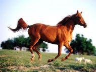 Cavu Arabian