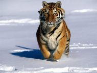 Charge , Siberian Tiger