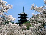Cherry Blossoms, Ninna Ji Temple Grounds, Kyoto, Japan