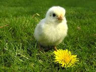 Chicken with Flower
